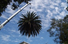 Palm Tree removal Mosman