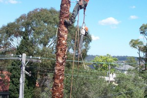 Palm removal Collaroy