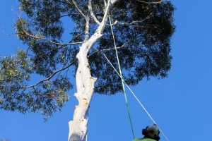 Part way through large tree removal Wahroonga