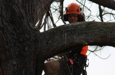 Large branch pruning Newport
