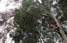 Pruning of branch, Newport