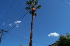 Pruning of palm tree Dee Why