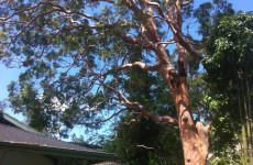 Immediate removal of hazardous Sydney Red Gum, Chatswood
