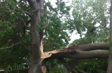 Limb failure due to inclusion in Liquidambar Frenchs Forest